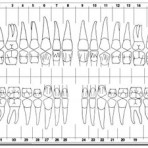 Item# 50-0560  Adult Dental Chart Sticker